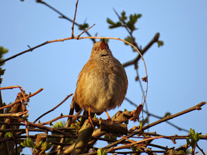 """Photo: Priorslee Lake Another of the """"you can see the eye- and gape-colour shots: a Dunnock / Hedge Sparrow / Hedge Accentor (as you please) in full cry. (Ed Wilson)"""