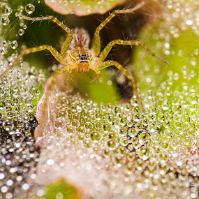 spider's crystal palace by Sherry Zhao - Animals Insects & Spiders ( yard, waterdrop, spider,  )