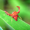 Common Triangular Spider