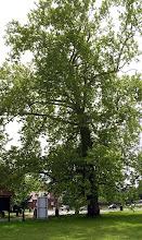 Photo: C6060019 wielki platan w parku palacowym