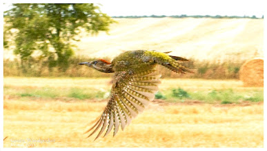 Photo: Green Woodpecker