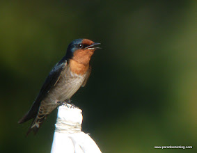 Photo: Pacific Swallow, Usukan Bay