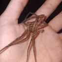 Huntsman Spider Molt