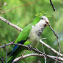 Monk parakeet. Cotorra argentina