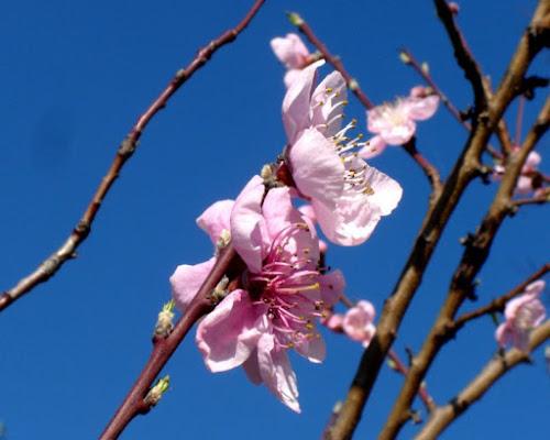 fiori rosa,fiori di pesco di apeindiana