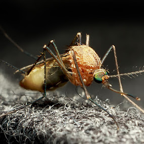 the mosquito by Putu Yustiantara - Animals Insects & Spiders