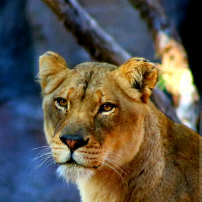 Lioness in early morning  by LaDonna McCray - Animals Lions, Tigers & Big Cats ( big cat, up close, cat, lioness, mammal,  )