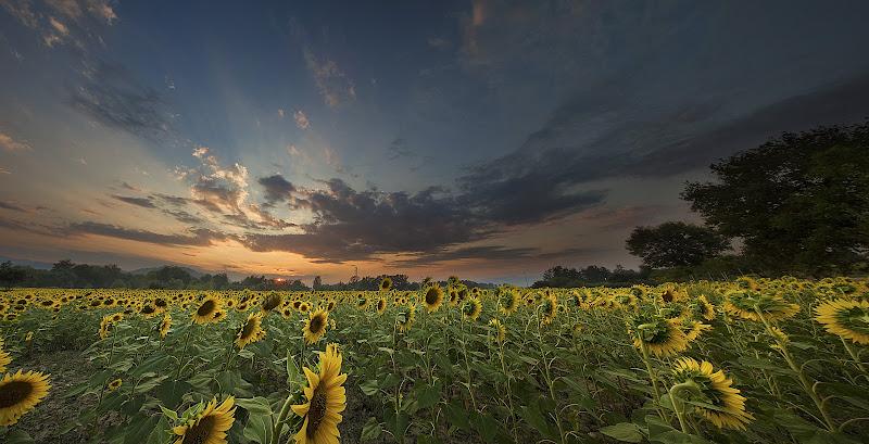 Girasoli al tramonto di Sebastiano Pieri