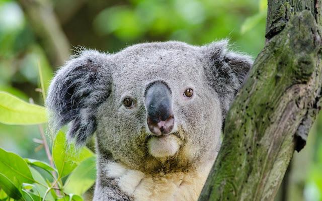 Koala - New Tab in HD