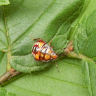 Spined Soldier Bug (Nymph)