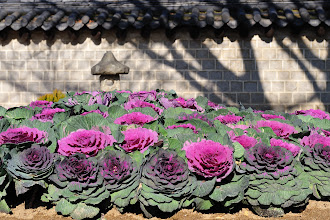 Photo: Jeonju is decorated with flowers. Some are gigantic.