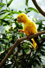 Photo: A bright yellow parrot enjoys holding a leaf