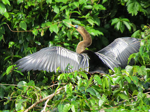 Photo: anhinga drying his wings