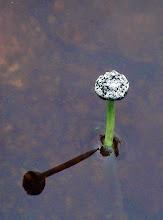 Photo: Pipewort, Eriocaulon aquaticum, site B