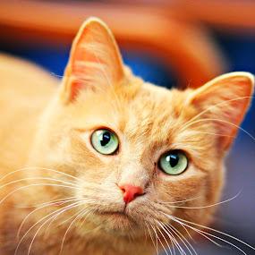by Kyle Archerd - Animals - Cats Portraits