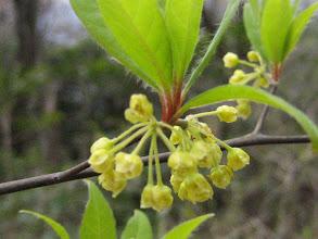 Photo: クロモジ(クスノキ科) 2009.3.31 金山にて。葉が伸びるのに合わせるように、小さく可憐な黄緑色の花をつけます。枝は高級爪楊枝の材料となります。
