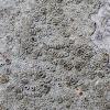 Bumpy Rim Lichen