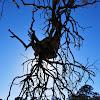 Showy Mistletoe sp.