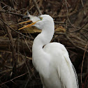 Great Egret (Catching a Fish)