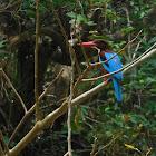 White-throated kingfisher