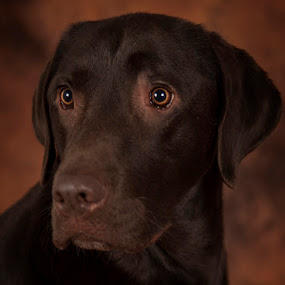 Baile by Leticia Cox - Animals - Dogs Portraits ( labrador retriever, animals, dogs, pets, dog portrait, nikon,  )