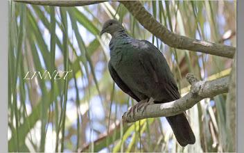Photo: アカガシラカラスバト ハト目 ハト科  ( Black Wood Pigeon )