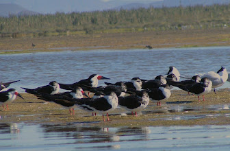 Photo: Black skimmers at rest