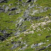 Pecore al pascolo di