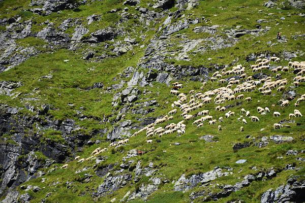 Pecore al pascolo di MersaPhotography
