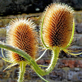 The Prickly Ones  by Ian Popple - Nature Up Close Other Natural Objects ( teasels, annuals, prickly, good for bee's and birds,  )