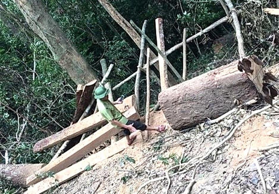 Những khúc gỗ lim bị đốn hạ nằm trong rừng sản xuất ở Tiểu khu 329. Ảnh Kiểm lâm Quảng Bình cung cấp