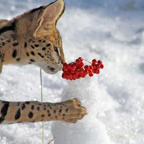 Serval and Snowman by Nancy Chan - Animals Other Mammals ( cat, serval, mammal )