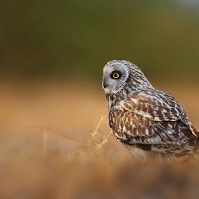 Short Eared Owl  by Sharad Agrawal - Animals Birds ( wildlfie, bird, lrk, nature, india, birds )