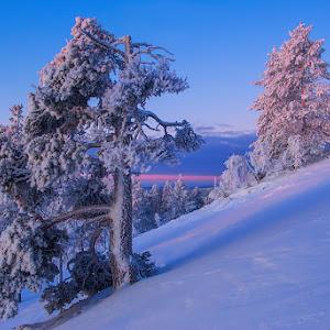 Winter mountain pines.jpg