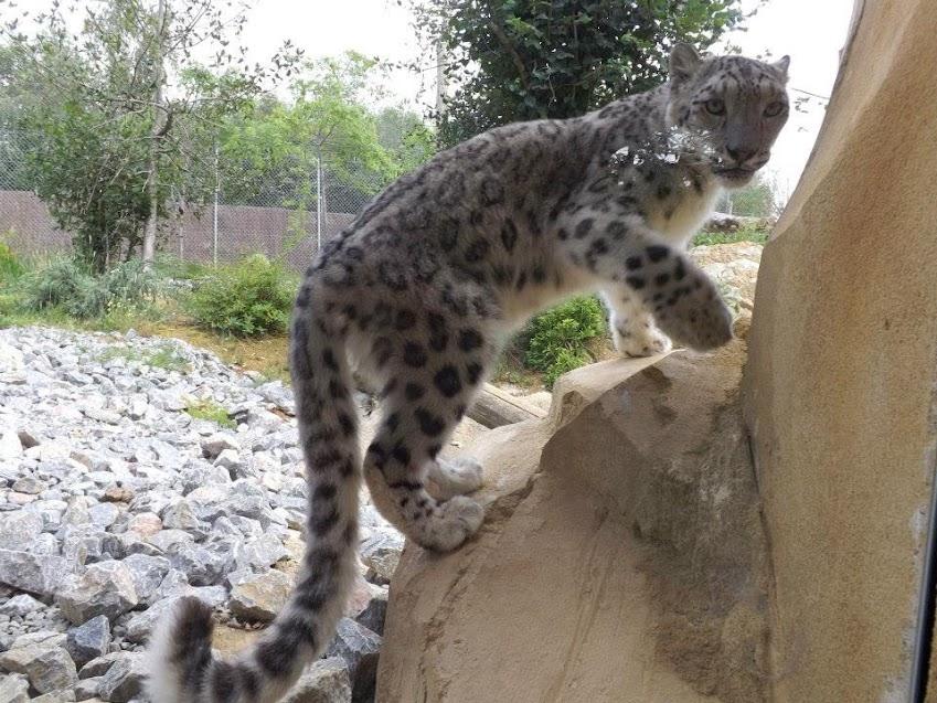 Panthère des neiges, Zoo de la Boissière du Doré - Tous droits réservés