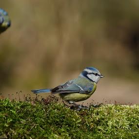 by Nick Vanderperre - Animals Birds (  )