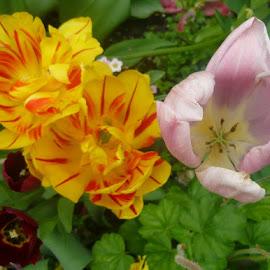 Tulips by Helena Moravusova - Flowers Flower Gardens ( spring, springflowerstulips, springflowers )