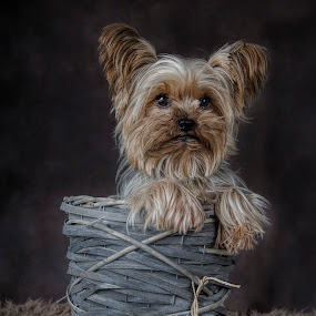 by Anja Voorn - Animals - Dogs Portraits