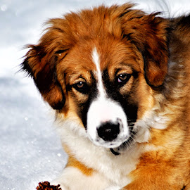 English Shepherd Puppy - 29 by Twin Wranglers Baker - Animals - Dogs Puppies (  )