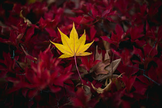 Photo: Yellow On Red  I always enjoy when colors naturally contrast well in nature. Found this yellow leaf resting atop a red bush along the shore of Lake Kawaguchiko at the base of Mt. Fuji in early November.  Camera: Nikon D610 Lens: Nikon 50mm f/1.8G Shot Info: f/1.8 | 1/1250 | ISO100 | 50mm  Blog post: http://lestaylorphoto.com/yellow-on-red/  #japan #autumn #nikon