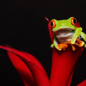 Red-eyed Tree Frog on Brom by Jen St. Louis - Animals Amphibians ( frog, captive, amphibian, tree frog, agalychnis callidryas, red-eyed tree frog,  )