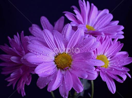 daisies  flower arangements  flowers  pixoto, Beautiful flower