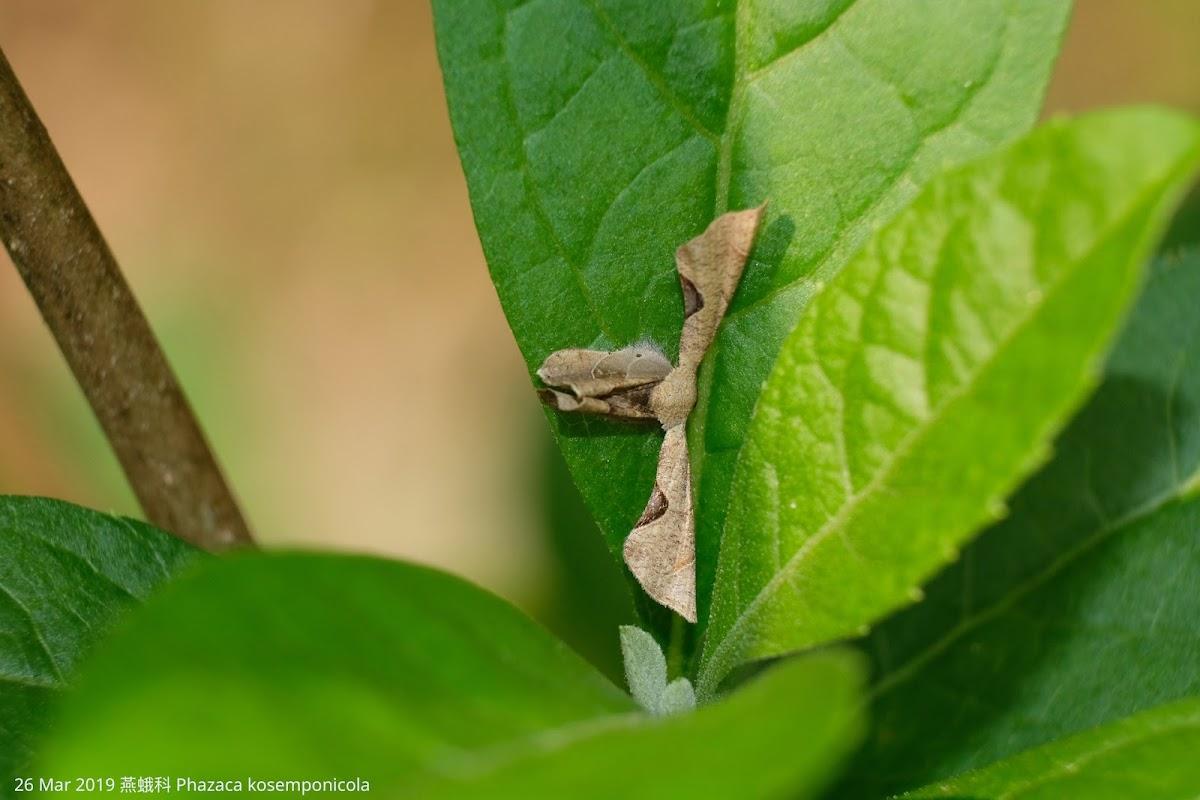 Phazaca kosemponicola 燕蛾科