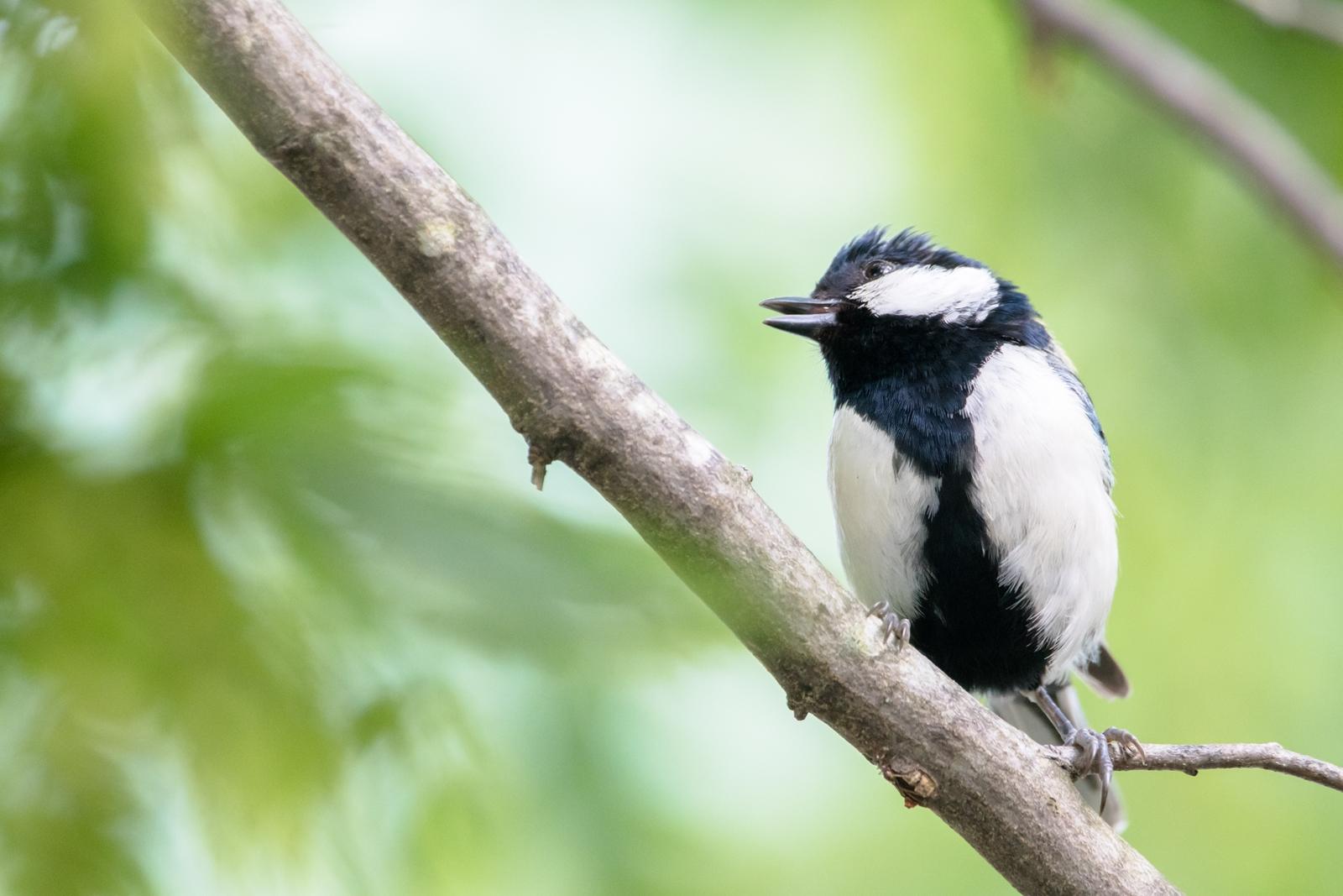Photo: 「うたをうたおう」 / Let's sing.  うたをうたおう 嬉しい気持ち 楽しい気持ち 気持ちはちゃんと伝わる 僕もとっても楽しいよ  Japanese Tit. (シジュウカラ)  Nikon D500 SIGMA 150-600mm F5-6.3 DG OS HSM Contemporary  #birdphotography #birds #kawaii #ことり #小鳥 #nikon #sigma  ( http://takafumiooshio.com/archives/2683 )