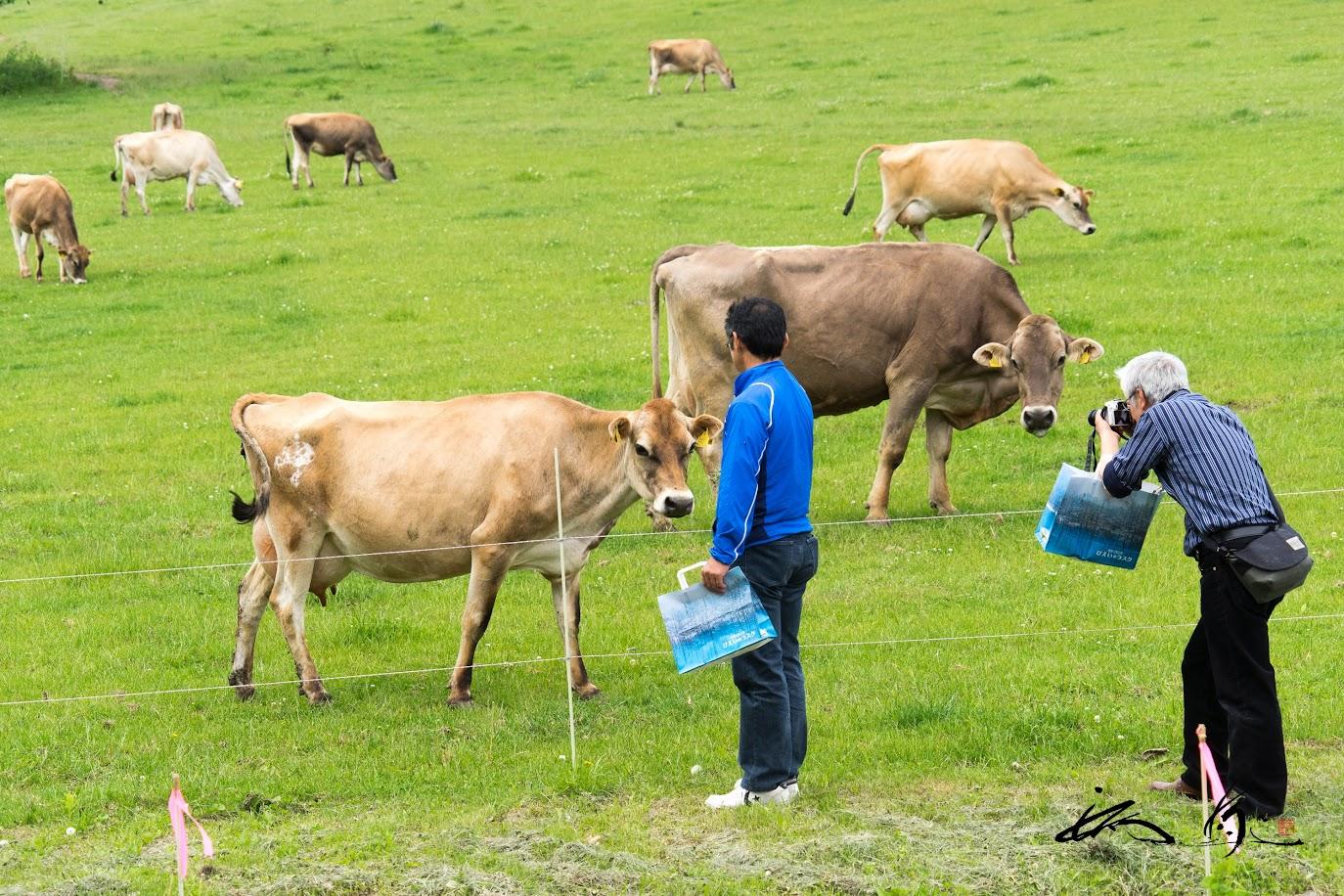 美瑛放牧酪農場・美瑛ファームで牛と戯れる。。。