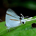 Common Fairy Hairstreak