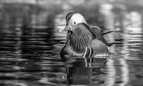 Mandarin by Garry Chisholm - Black & White Animals ( mandarin, nature, duck, bird, garry chisholm )