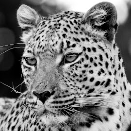Léo at Erindi in Namibia. by Lorraine Bettex - Black & White Animals