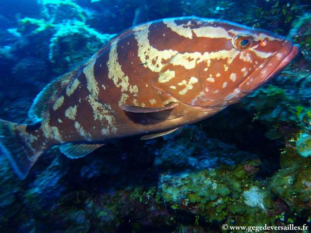 Photo: Mérou à Columbus Isle dans les Bahamas