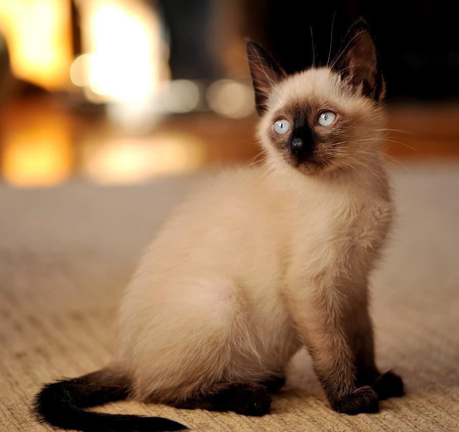 Sunlit Siamese by Josh Norem - Animals - Cats Portraits ( cats, cat, kitten, kittens, feline, siamese )